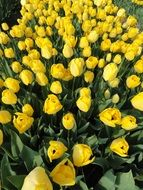 lot of yellow tulips at flower bed