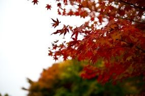 autumn red leaves landscape