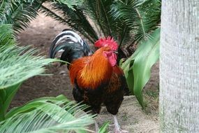 big rooster among green plants