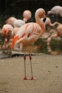 pink flaming with long legs