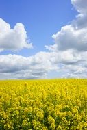 field of rapeseeds in the blue sky