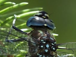 dragonfly transparent wings macro