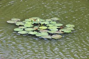 green water lilies in the pond in summer