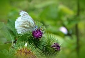 butterfly white ling thistle meadow