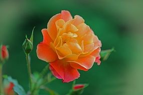 orange yellow rose bloom
