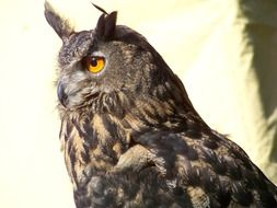 Great gray owl, horned owl