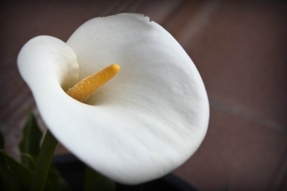 white flower with yellow pistil close-up