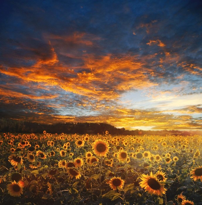beautiful landscape of a sunflower field with a beautiful sky