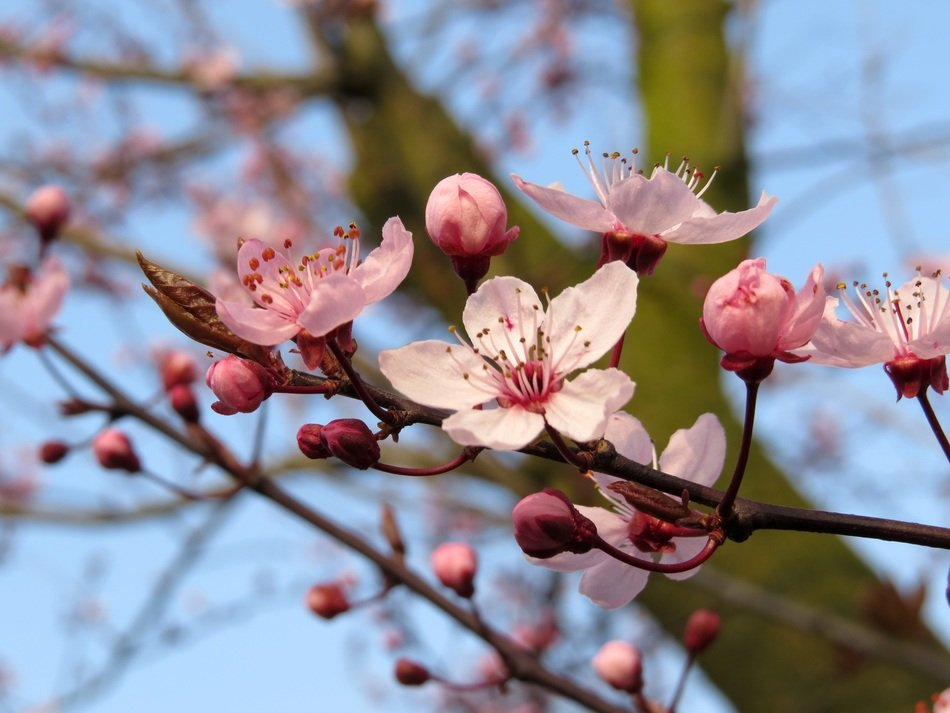 branches of blooming cherry tree in spring
