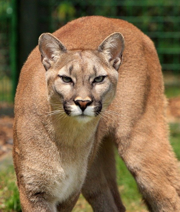 delightful cougar mountain lion