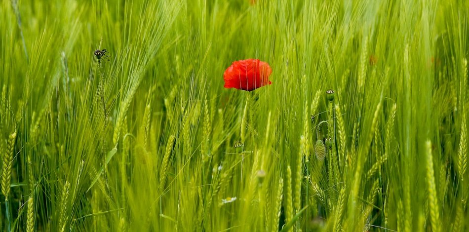 lonely red poppy among green grass