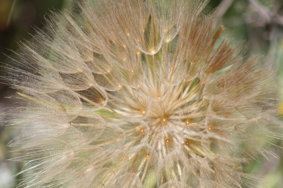 fluffy dandelion seeds close up