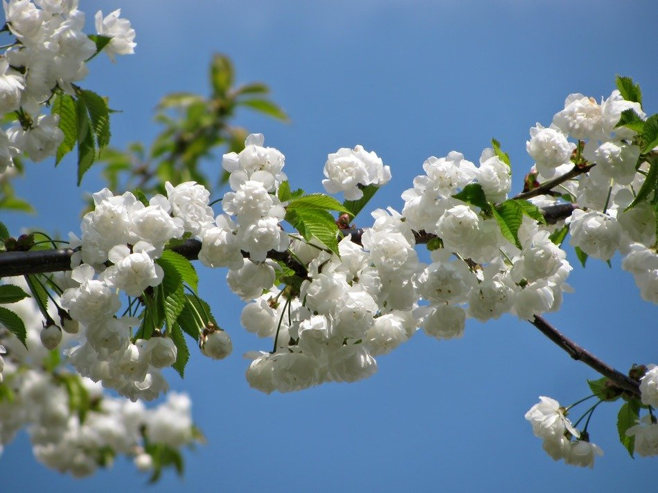 lush white bloom in the bright sun in spring