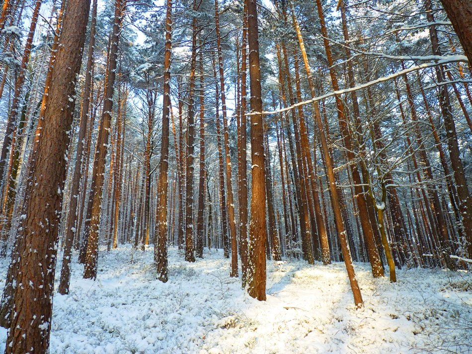 winter forest with long trees