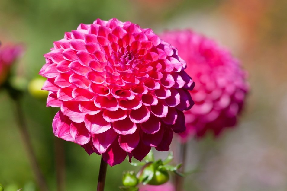 Bright pink dahlia close-up