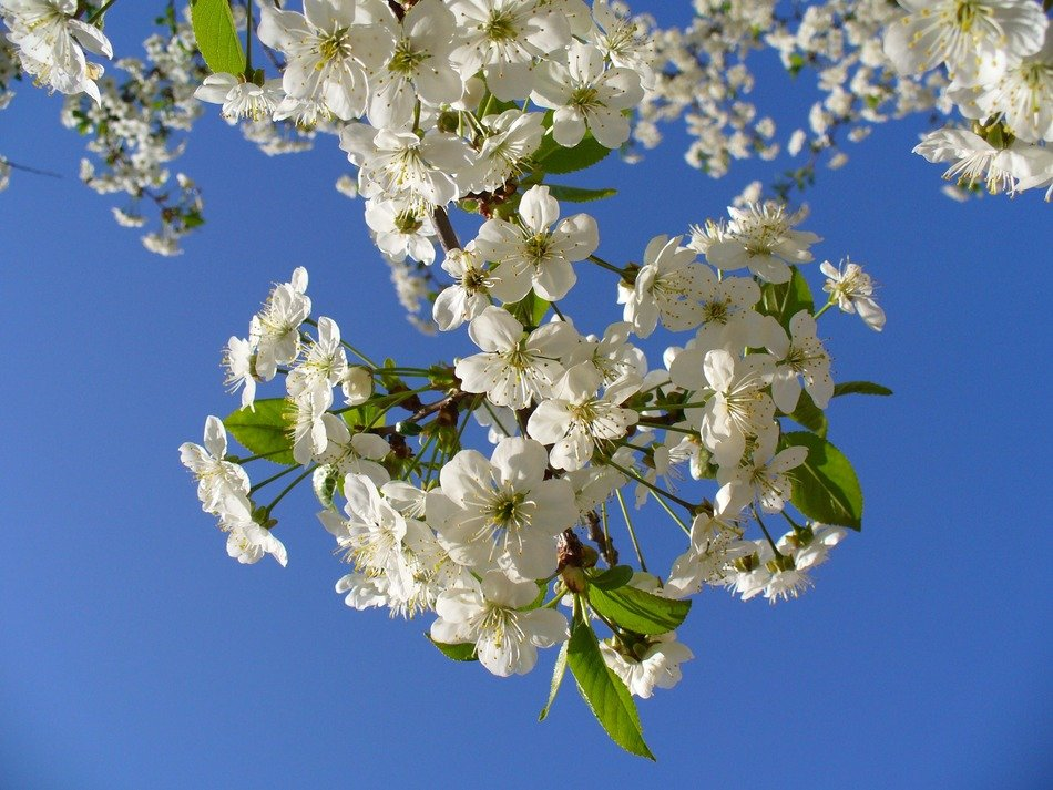 blooming branches of cherry tree