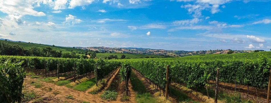 panoramic landscape with a vineyards in Tuscany, Italy