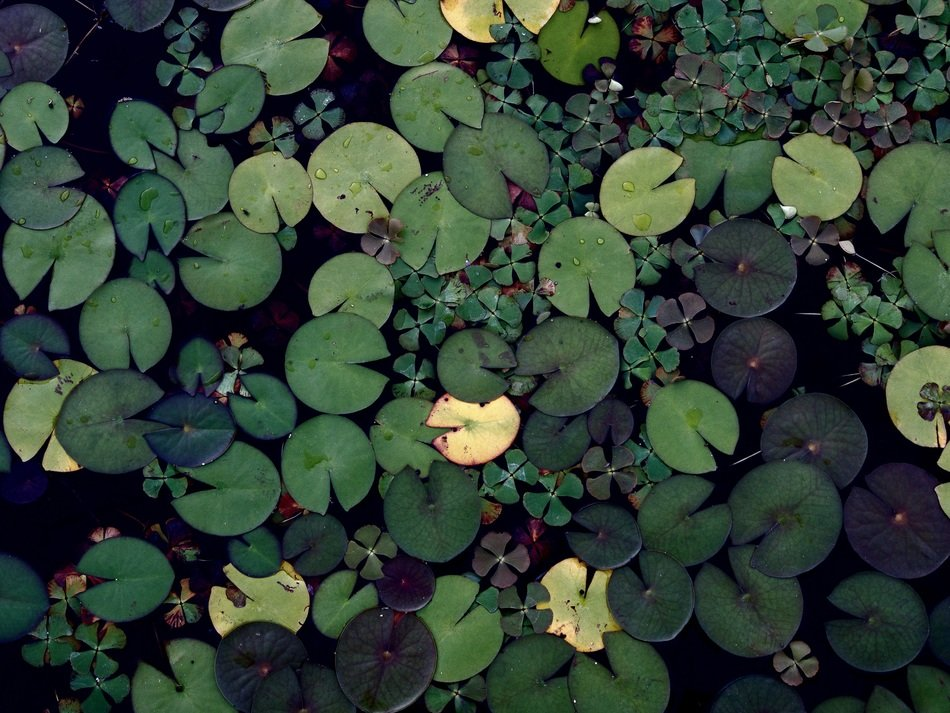 round green lily leaves in a pond top view