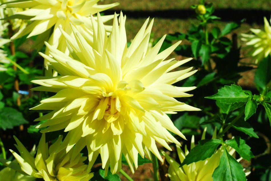 dahlia flower yellow nature