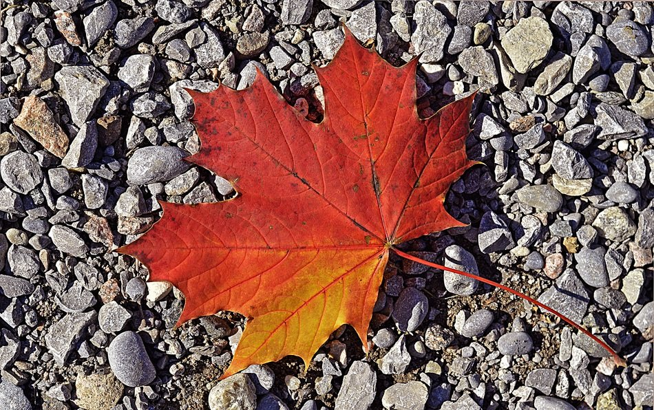 autumn maple leaf macro