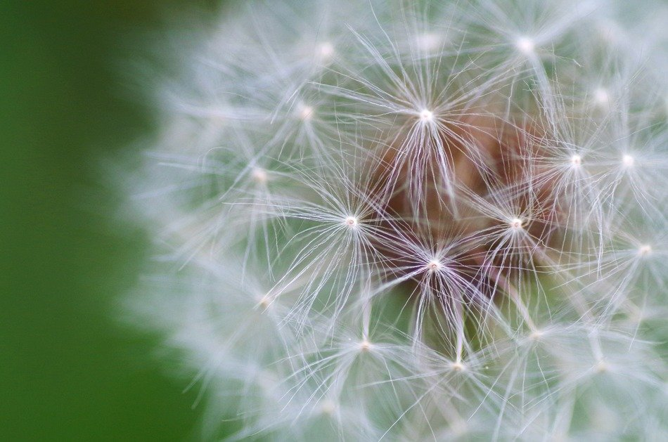 dandelion fluff on a green background