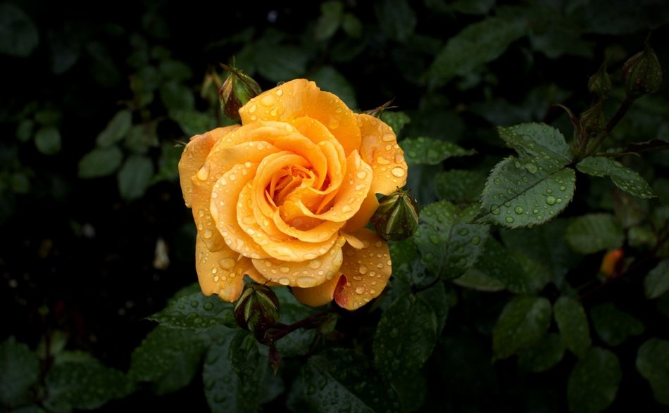 yellow rose and dew drops