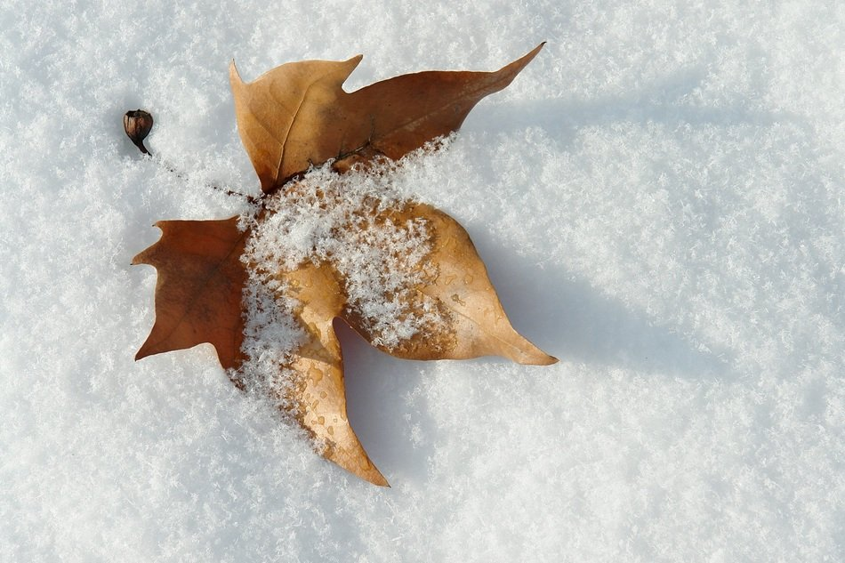 snow on a dry maple leaf
