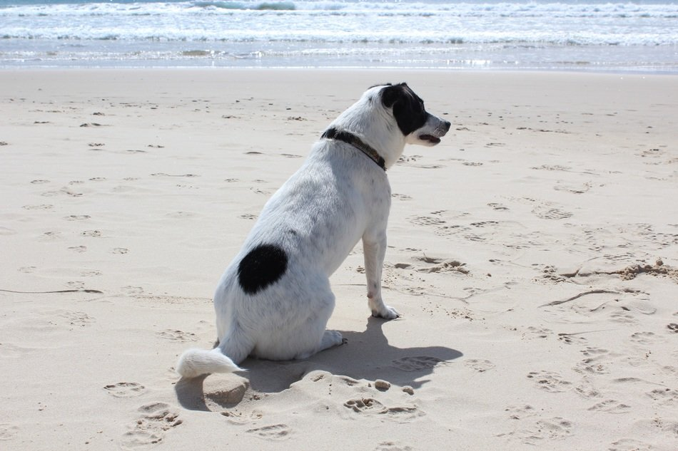 sitting white dog with black spots on the sand beach