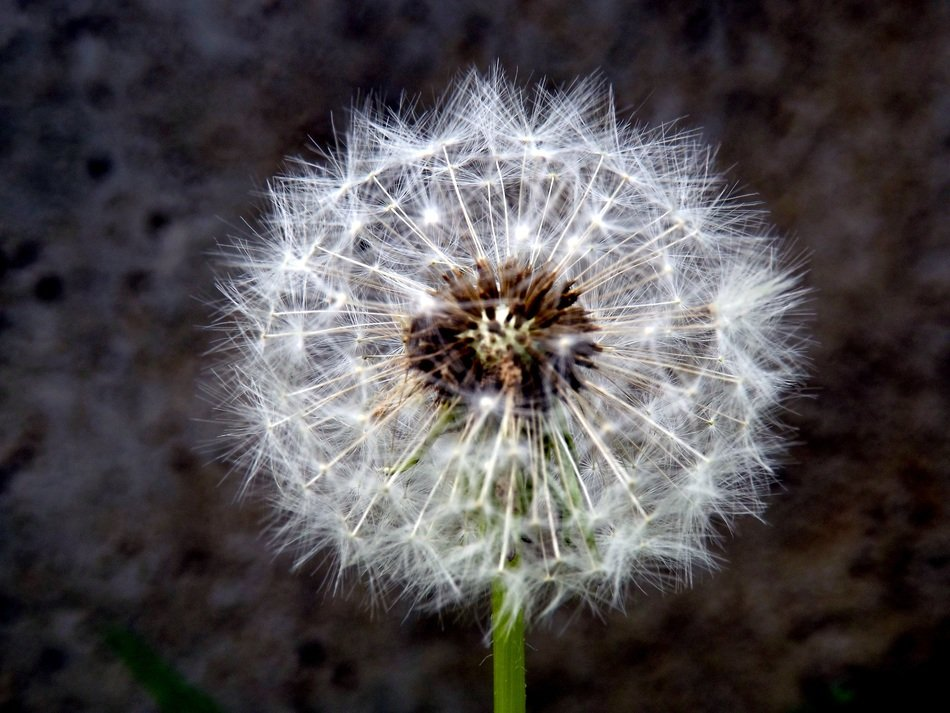 fluffy dandelion stars on a blurred background