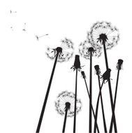 black and white group of dandelions with flying seeds