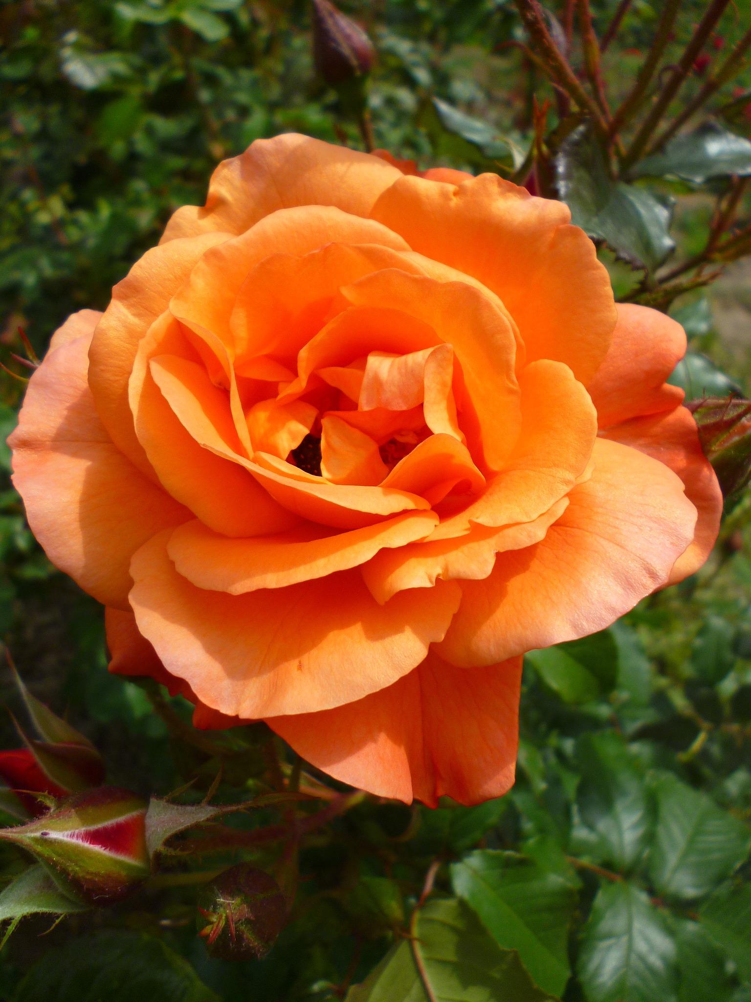 Orange Garden Rose: Summer Orange Garden Rose Free Image