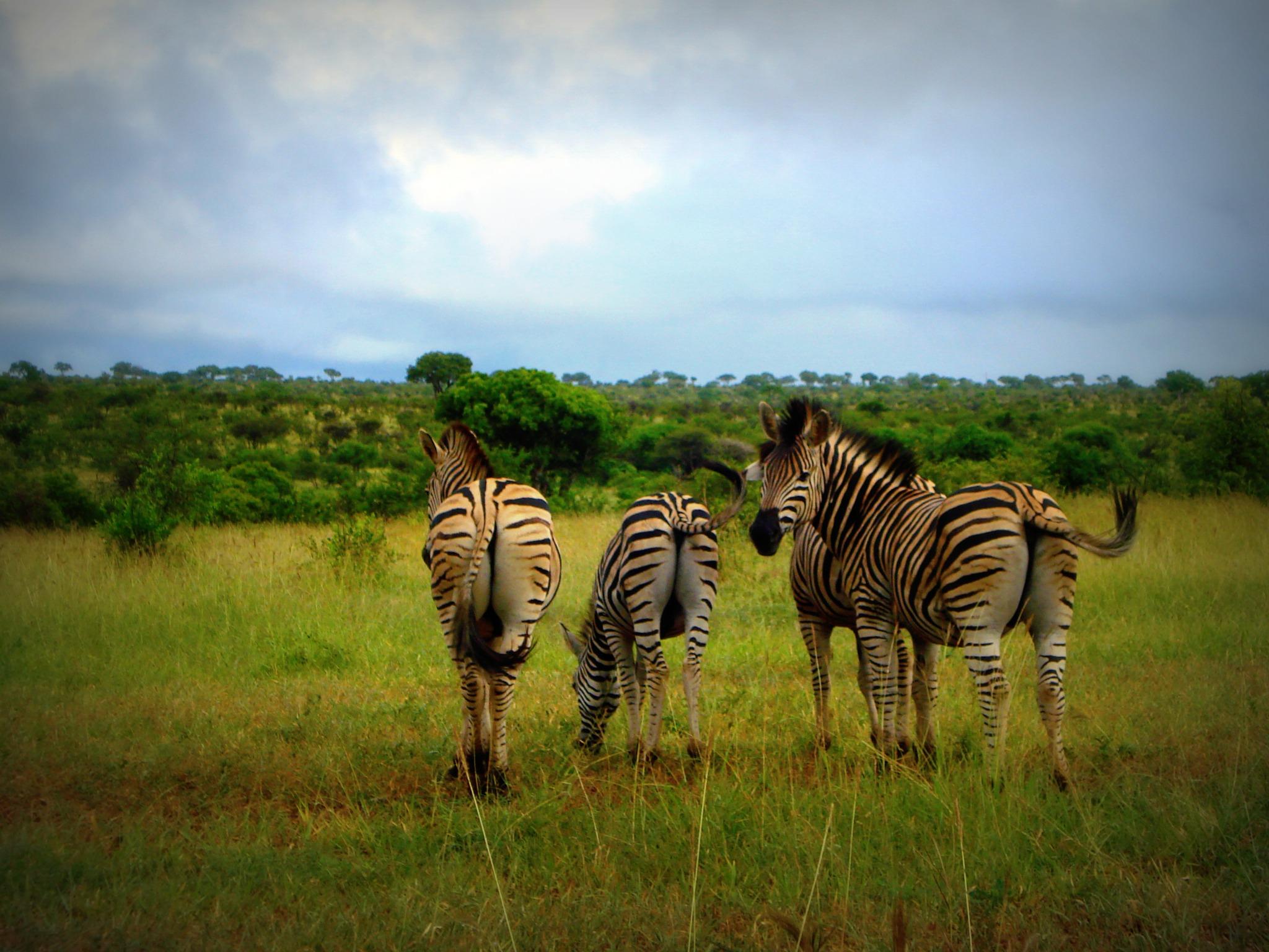 zebra wildlife south africa - HD2048×1536
