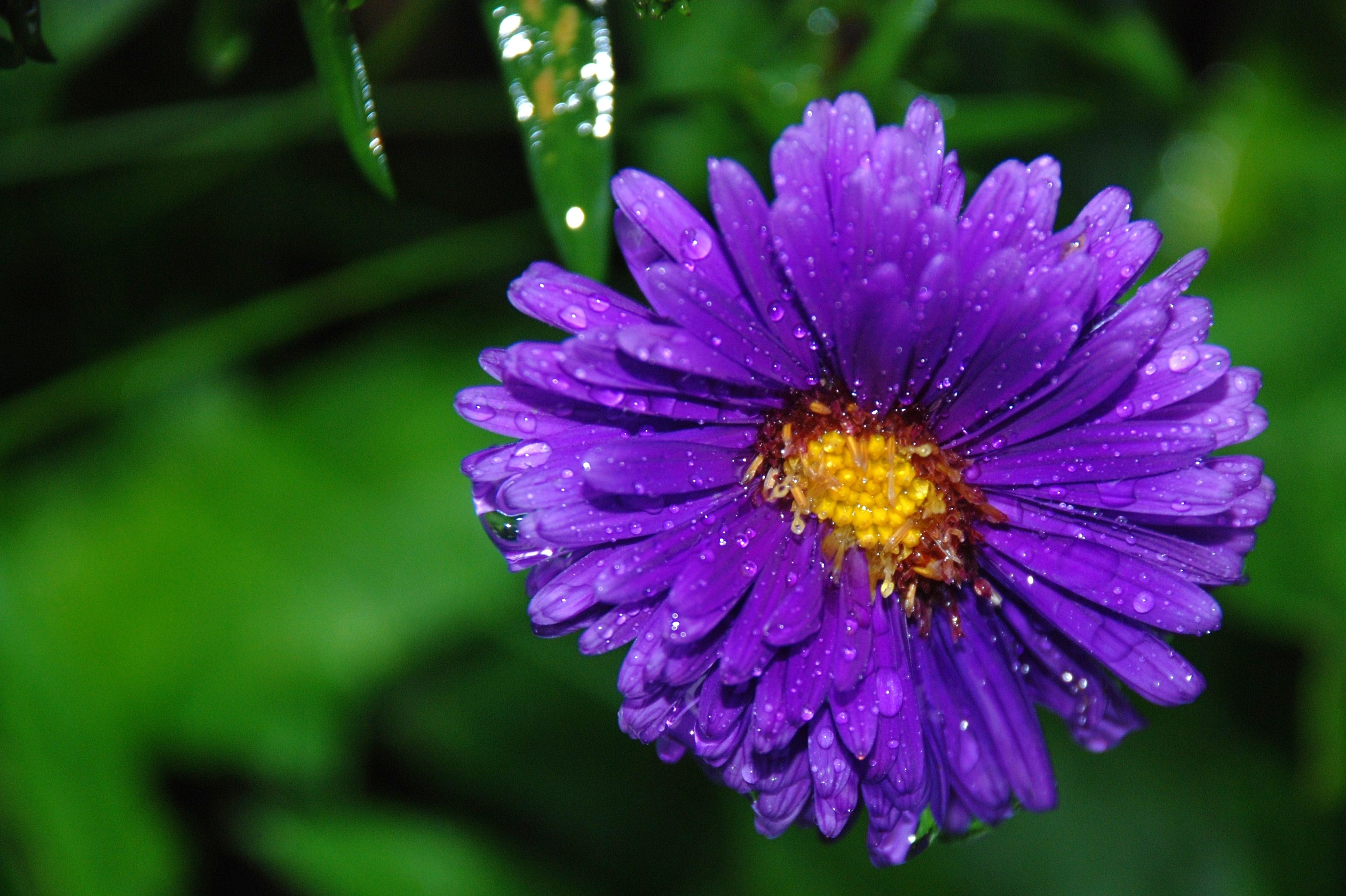 Purple Flower With A Yellow Center In Drops Of Water Free Image