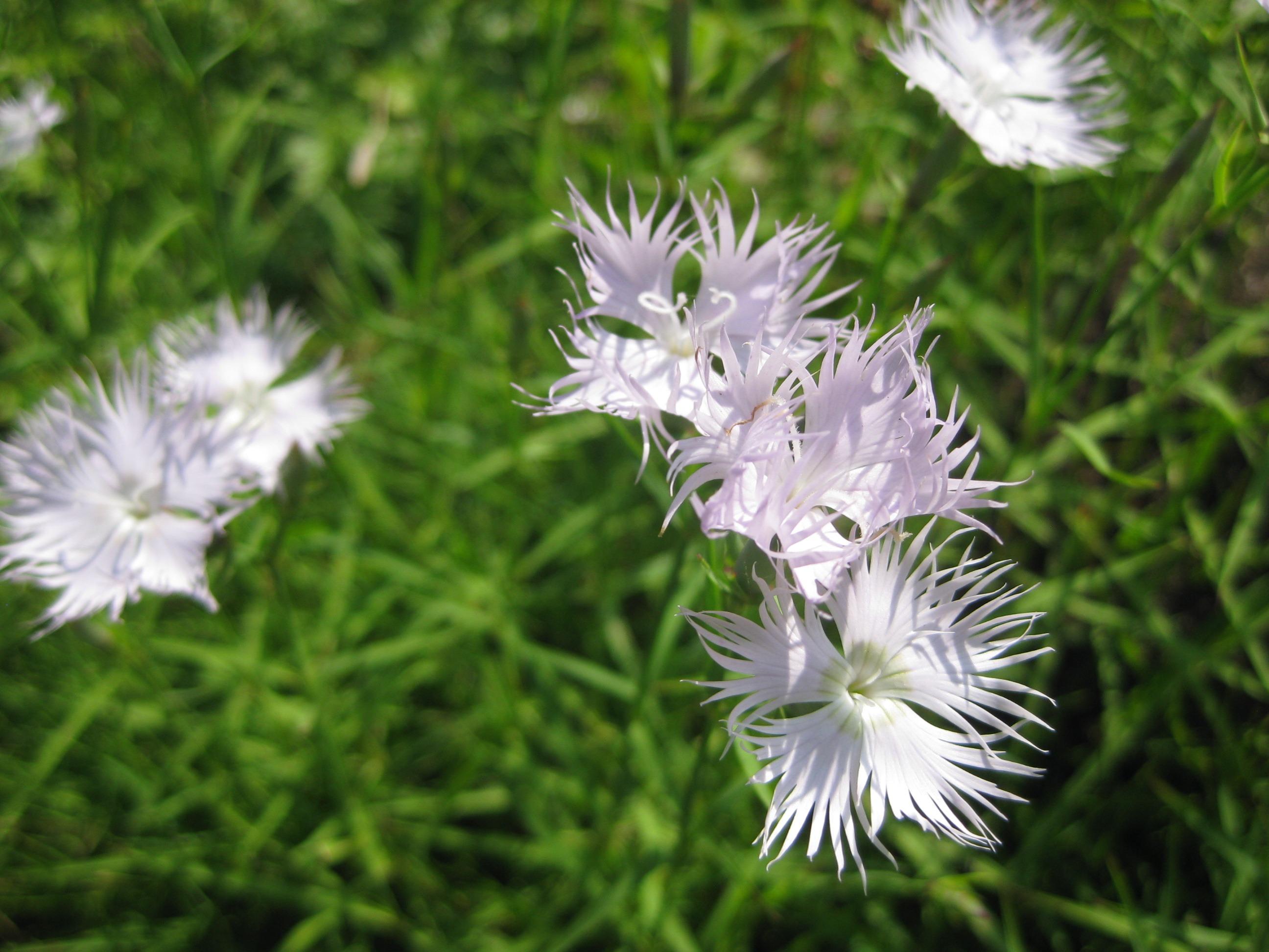 Fluffy white purple flowers free image fluffy white purple flowers mightylinksfo