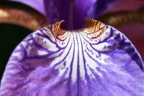 purple iris flower macro