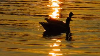 silhouettes of a pair of ducks on the water at sunset