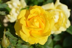 yellow rose blooms macro