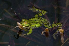frog amphibians water pond green