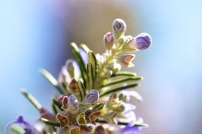 Macro Picture of rosemary plant
