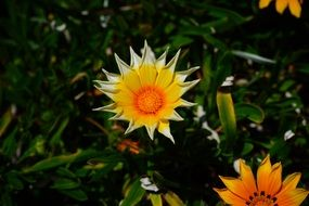yellow orange star gazania flowers