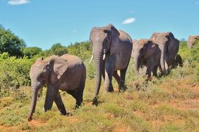 herd of elephants are in a row in Africa
