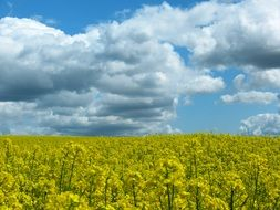yellow rapeseed field on a background of blue clouds