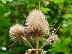 inflorescences of dry thistle close-up