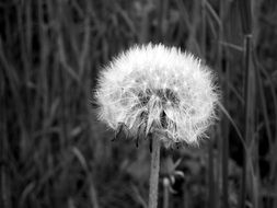 dandelion black and white photo