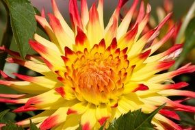 close-up picture of Yellow-red dahlia flower
