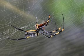 Golden orb spider on his web