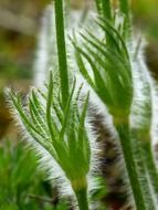 Macro photo of green pasque flowers