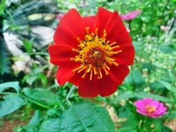 very beautiful mexican sunflower