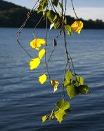 branch with yellow leaves against a lake