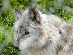gray fluffy young wolf